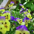 Pansy Bed by Larry Bishop
