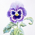 Pansy by Deborah Ronglien
