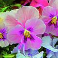 Pansy Flowers  by Susanna Katherine