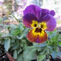 Pansy Perfection by Tim Allen