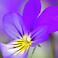 Pansy Violet by Heiko Koehrer-Wagner