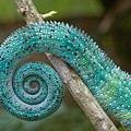 Panther Chameleon Tail by Philippe Psaila and Photo Researchers