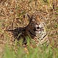 Jaguar In Grass by Aivar Mikko