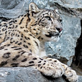 Panthera Uncia by Arterra Picture Library