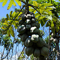 Papayas On A Tree by Robert Hamm