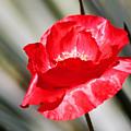Paper Flower II by Kathy McClure