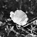 Paper Flower In B And W by Kathy McClure