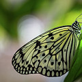 Paper Kite Butterfly- 2 by Calazone's Flics