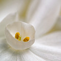 Paper White Narcissus by Andreas Freund