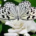Paperkite On Gardenia by Kristin Elmquist