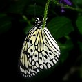 Paperwhite Butterfly by Teresa Stallings