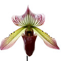 Paphiopedilum Lawrenceanum by Marilyn Hunt