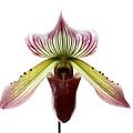 Paphiopedilum Lawrenceanum by Marilyn Hunt