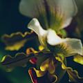 Paphiopedilum Villosum Orchid Lady Slipper by Sharon Mau