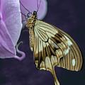 Papilio Dardanus Butterfly by Jaroslaw Blaminsky