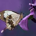 Papilio Dardanus On Violet Flowers by Jaroslaw Blaminsky