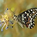 Papilio Demoleus On Blue Flowers by Jaroslaw Blaminsky