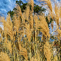 Pappusgrass In Fall by Edward Peterson
