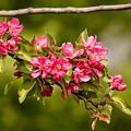 Paradise Apples Flowers by Alain De Maximy