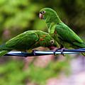Parakeet Couple by Fausto Capellari