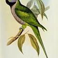Parakeet by John Gould