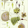 Parasites And Insectivorous Plants by English School