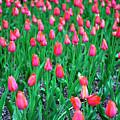 Park Avenue Tulips New York City by John Rizzuto