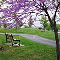 Park Bench With Redbud Tree Winona Mn By Yearous by Kari Yearous