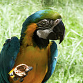 Parrot Eating Nut by Josephine Cleopahrt