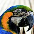 Parrot Head by Robert Wilder Jr