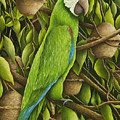 Parrot In Brazil Nut Tree by Mary Ann King