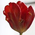 Parrot Tulip 10 by Robert Ullmann