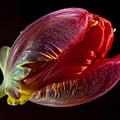Parrot Tulip 11 by Robert Ullmann