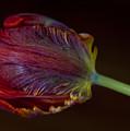 Parrot Tulip 12 by Robert Ullmann