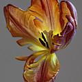 Parrot Tulip 23 by Robert Ullmann