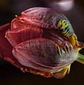 Parrot Tulip 4 by Robert Ullmann
