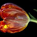 Parrot Tulip 6 by Robert Ullmann