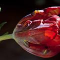 Parrot Tulip 7 by Robert Ullmann