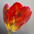 Parrot Tulip 9 by Robert Ullmann