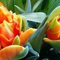 Parrot Tulip by Agnieszka Adamska