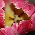 Parrot Tulip by Jolanta Anna Karolska