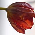 Parrot Tulips 14 by Robert Ullmann