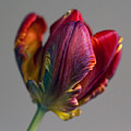 Parrot Tulips 15 by Robert Ullmann