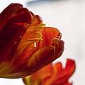 Parrot Tulips 18 by Robert Ullmann