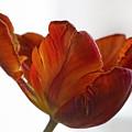 Parrot Tulips 20 by Robert Ullmann