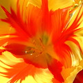 Parrot Tulips by Cheryl Ehlers
