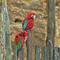 Parrots, Doue-la-fontaine Zoo, Loire, France by Curt Rush
