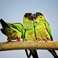 Parrots In South Florida by Ronald Lutz