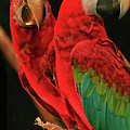 Parrots by Jacqui Boonstra