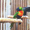 Parrots Nodding by Kathy Corday